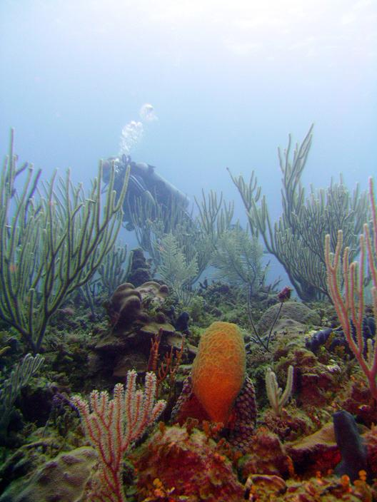 Corals in the ABC Islands